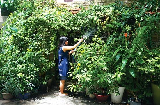 Cần tưới nước hàng ngày cho cây kiểng.