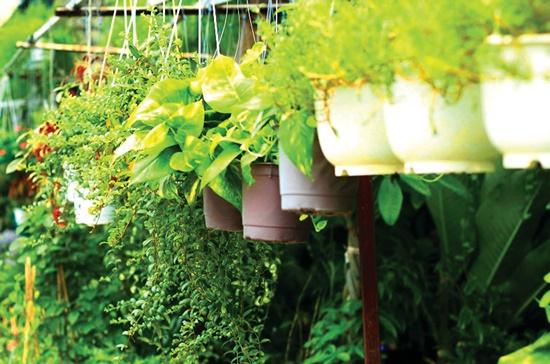 Một số loại cây kiểng để treo trên các bờ rào phía trong sân nhà.