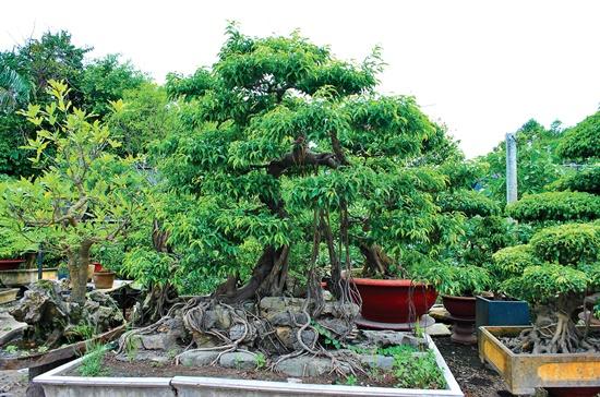 Cây sanh thường được trồng trong các sân nhà rộng.