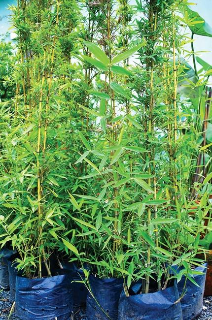 Trúc thường được trồng trước bờ rào.
