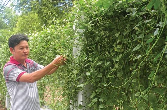 Anh Đạo, chủ quán cơm Sài Gòn, đang hái rau mồng tơi do mình trồng để nấu canh phục vụ khách hàng.