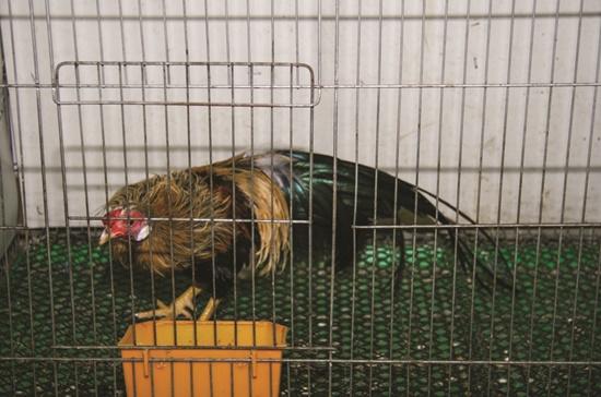 Con gà kiểng giống Phoenix có giá hơn 20 triệu đồng.
