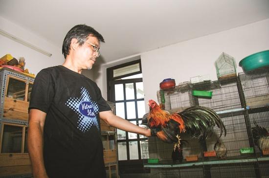 Gà kiểng giống Serama, một giống từng làm điên đảo dân chơi gà kiểng Việt Nam.