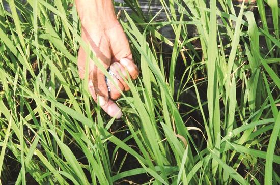 Lúa được cho vào các bầu đất để giữ nước và phân. Đến ngày trang trí đường hoa, người ta chỉ việc di chuyển những bầu đất và sắp xếp lại theo từng khu vực được thiết kế.