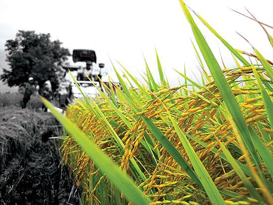 Nông dân Việt Nam thường làm theo kinh nghiệm lão nông chứ ít làm theo đúng kỹ thuật do ngành nông nghiệp khuyến cáo. Ảnh: Trung Chánh