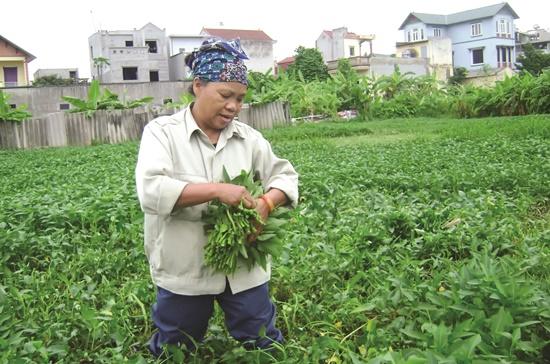 Thay vì để đất bỏ hoang, người đi mượn đất sử dụng trồng rau muống, mỗi năm thu nhập cũng được mấy chục triệu đồng.