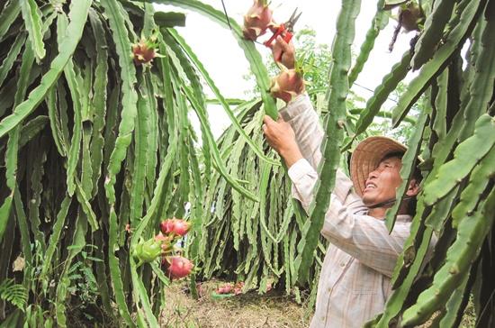 Xuất khẩu rau, quả tăng, nhưng dự báo vẫn khó tránh khỏi điệp khúc dội chợ, rớt giá trong vụ thu hoạch năm nay được.   Ảnh: Trung Chánh