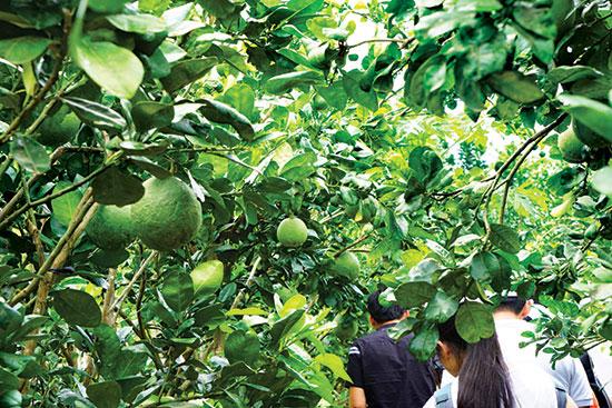Du khách tham quan vườn bưởi da xanh ở cù lao Dài.