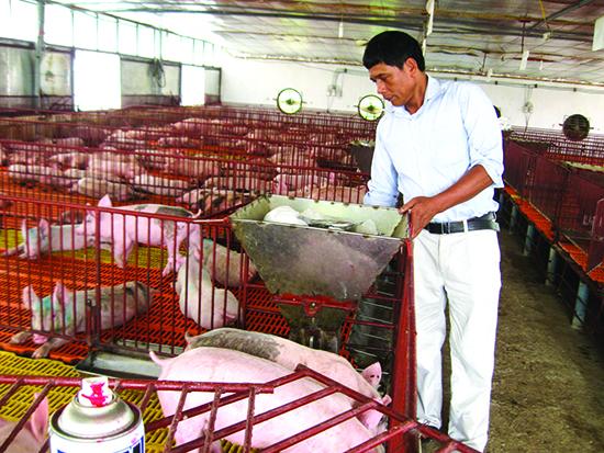 Việc sử dụng chất tạo nạc trong chăn nuôi là hành vi bị cấm ở Việt Nam vì điều này có thể ảnh hưởng nghiêm trọng tới sức khỏe người tiêu dùng. (Ảnh mang tính minh họa)