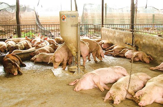 Heo nuôi ở một trang trại tại Đồng Nai. Ảnh có tính minh họa: Ngọc Hùng